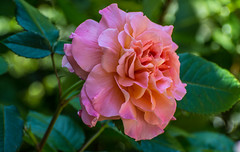 Rose (kattoms21) Tags: rose sommer apricot garten