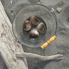 #cockles #clams #clamming #clamchowder #beach #sand #driftwood #WhidbeyIsland #DoubleBluff (Heath & the B.L.T. boys) Tags: food beach glass vintage washington bucket sand driftwood seashell instagram