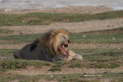 Pride of lions at Okendeka Waterhole (robsall) Tags: africa vacation cat canon mammal big feline lion bigcat lions endangered predator namibia canoneos lioness teleconverter bigcats carnivore vulnerable 2015 pantheraleo oshana 20xtc largefelines 7dmarkii canon7d2 canon7dmarkii canon7dmark2 robsallphotography 7dm2 7dmark2 7dmii canoneos7dmark2 canon7dm2 canoneos7dm2 20xiiitc 50020x canon500mmf4lisiiusm20xiii canon500mmf420x canon500mmf4ii20xiii