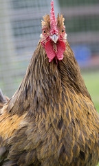 My god what a magnificent animal (Godless Graham) Tags: england unitedkingdom cockerel shepreth