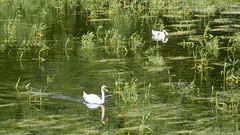 May 23: Swans on Devin Floody Lake (johan.pipet) Tags: flickr lake jazero devin devn bratislava nazure priroda green swan bird labu vtk greeness sunny slovakia slovensko eu europe palo bartos barto canon