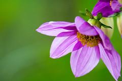 Purple Power (suzeturn) Tags: winter flower colour green garden perfect purple clematis petal