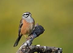 Cia / Rock Bunting (anacm.silva) Tags: wild naturaleza bird portugal nature birds wildlife cia natureza aves ave gers bunting emberizacia rockbunting parquenacionaldapenedagers escrevedeira