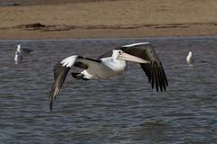 Australian Pelican (Byron Taylor) Tags: nature birds canon wildlife australian australia pelican nsw australianpelican australiasia canon7d