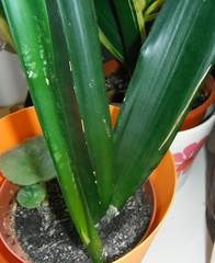 Black Brasilian or nelsonii banded? (irak_ua) Tags: black sansevieria brasilian banded trifasciata nelsonii