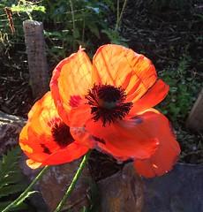 Poppy in my yard (montanatom1950) Tags: montana helena helenamontana