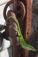 Mr Lizard (pvc2112) Tags: flowers nikon texas lizard smithville horseshoes d7200