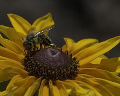 Bee_SAF7763-1 (sara97) Tags: nature insect outdoors dragonfly bee missouri saintlouis citypark towergrovepark urbanpark pollinator photobysaraannefinke copyright2016saraannefinke