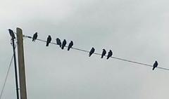 20160614_184050-1 (EadaoinFlynn) Tags: ireland bird wire gathering murder crow wexford corvid