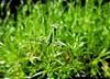 hello there! (Hank Rogers) Tags: pa pennsylvania northeast green peaceful moss insect bug creature mantis praying prayingmantis life living alive macro eyes head antennae nature natural intelligent hi hello