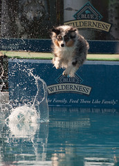 Dock Dog Competition 2 (gerilynns) Tags: dogs water outside jump collie maine competition concentrate