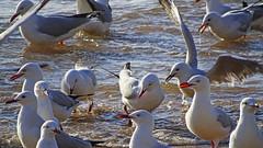 Chroicocephalus novaehollandiae_2 (Tony Markham) Tags: bird waves seagull gull northbeach seabird wollongong illawarra northwollongong silvergull chroicocephalusnovaehollandiae