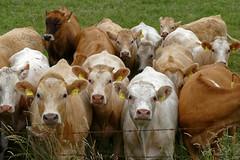 Herdentrieb - 2016 - 0017_Web (berni.radke) Tags: cows bovine khe rinder herde herdinstinct herdentrieb