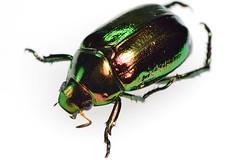 koganemushiml_ds8_3742 (takao-bw) Tags: japan insect beetle coleoptera scarabbeetle