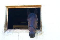 Hello (LaLa83) Tags: ohio summer horse white window animal june sony alpha racehorse equine 2016 circleville standardbred a230 pickawaycounty pickawaycountyfairgrounds