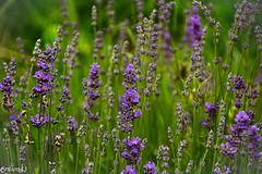 Lavande... (Crilion43) Tags: france vreaux divers paysage jardin centre champ canon lavande herbe fleurs cher brouillard maison nature pr rflex