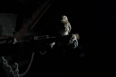 I'm Watching You (JimPobPhotography) Tags: owls barn wildlife wildlifephotography wild nature naturephotography wildlifetrust owl blackandwhitephotography lincolnshire littleowl amateur amateurphotography nikond5300 nikon nikon1855mm animals animalphotography animal birds