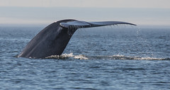 Whale (7 von 19) (karstenniehues) Tags: sea canada st meer whale lorenz wal whalewatching tadoussac kanada sugetier blauwal finnwal minkwal