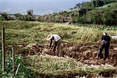 32-175 (ndpa / s. lundeen, archivist) Tags: winter people mountains color fall film field hat rural 35mm workers village rice paddy farm nick farming working hats taiwan hills 1970s 1972 hualien 32 taiwanese ricepaddy eastcoast unidentified dewolf rurallife riceharvest republicofchina conicalhat easterncoast harvestingrice conicalhats easterntaiwan nickdewolf photographbynickdewolf hualiencounty reel32