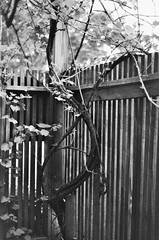 (inaminorchord) Tags: blackandwhite bw plant tree film analog 35mm fence vines branch 35mmfilm manual twisted filmphotography fullmanual 35mmfilmphotography
