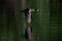 _F0A2831.jpg (Kico Lopez) Tags: birds rio spain aves galicia lugo mio anasplatyrhynchos anadeazulon