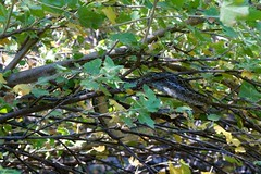 Motionless (Wildlife_Biologist) Tags: nature animal outside outdoor reptile snake motionless gophersnake platanusracemosa pituophiscateniferannectens sandiegogophersnake wildlifebiologist snakeintree westernsycamore jeffahrens