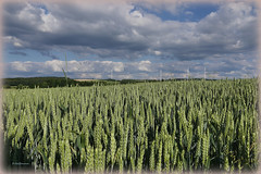 Landschaft hintern Weizenfeld - Scenery bottom wheat field (Karabelso) Tags: blue sky green field germany wheat wolken ears panasonic sachsen zwickau landscabe weizen ähren gx7