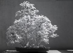 DSC_3915s (An Xiao) Tags: arboretum bonsai penjing