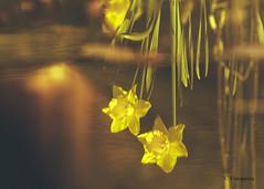 Festplattenfund Spiegelung (petra.foto on/off) Tags: frhling spring jahreszeit wasser gartenteich spiegelung reflexion garten nature fotopetra canon 5dmarkiii abendlicht
