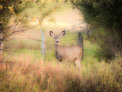 Framed Deer (A O'Brien) Tags: trees light grass fence deer alberta frame softcolors