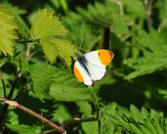 Orange Tip (Anthocharis cardamines) (marmendy mill) Tags: macro closeup butterfly bug insect photo nikon butterflies lepidoptera mariposa essex greenleaf orangetip rochford anthochariscardamines doggettslake