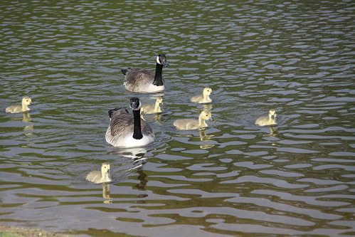 Pair of Canada Geese with 7 Goslings (2)