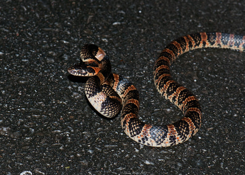 Strike first - Akamata snake (Dinoden semicarinatum)