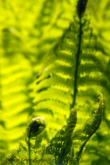 Golden fronds (Becky J.C.) Tags: light plant fern green frond ostrich shuttlecock mattheuccia
