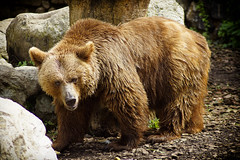 Big Brown Bear (Marcello Pirola) Tags: bear brown big bruno orso orsobruno