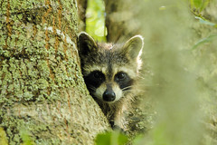 Peeking (uyht) Tags: cute nature wildlife raccoon lakeland circlebbar