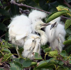 Three's Company (PelicanPete) Tags: wild nature beauty face three bill babies unitedstates natural nest florida expression priceless wildlife branches ngc wetlands curious hiding snowwhite badhairday puffball southflorida qtip treetop cattleegret peepers threechicks delraybeachflorida naturesspirit naturescarousel aviancapture doyouthinktheyseeus