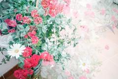 bonitas. (Soadora de Inviernos.) Tags: flowers red summer hot flores verde green primavera june rose vintage photography spring lomo double exposition verano margarita 80 rosas effect 70 90 junio vignette roja doble calor exposicin doubke tumblr flickrandroidapp:filter=none