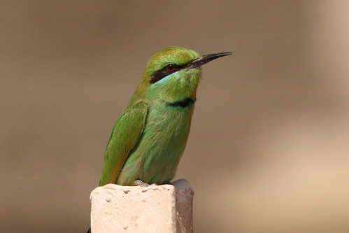 Little Green Bee-eater, Ramesseum, West Bank, Luxor, Egypt