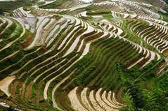 Longji (Dragon's Backbone) Rice Terraces, Yangshuo , Guangxi Autonomous Region, China (tangtang3TanG) Tags: china dragon rice yangshuo terraces region backbone guangxi longji autonomous dsc7365