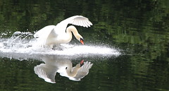 Mute Swan (themadbirdlady - anne cotton) Tags: muteswan cygnusolor