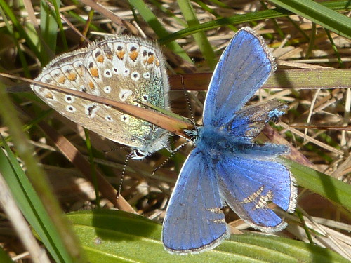Battered Blue with lady - Battered Blue - Polyommatus icarus 3b