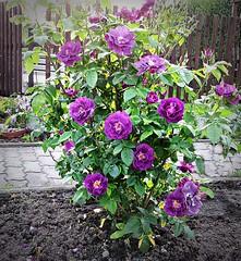 Rose 'Rhapsody in Blue' (ingrid eulenfan) Tags: rose garden natur blau blume blte garten blten schrebergarten eulenfan