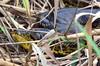 Wild Yellow Anaconda in the Pantanal (Brazil) (|kris|) Tags: brazil brown black yellow golden reptile snake boa spots anaconda swamp streaks tong pantanal saddles brésil greenish slang blotches anakonda brazilië reptilia sudamérica serpentes vertebrata squamata eunectes boidae yellowanaconda wurgslang eunectesnotaeus geleanaconda boinae gelbeanakonda curiyú anacondaamarilla paraguayananaconda mygearandme anacondajaune paraguayanakonda südlicheanakonda sucuriamarela dwerganaconda anacondacuriyú anacondaduparaguay reuzenslang парагвайскаяанаконда epicrateswieningeri キイロアナコンダ gulanakonda enotaeus 黃水蚺