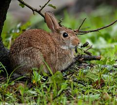 Remembering Irene (v4vodka) Tags: newyork rabbit bunny nature animal wildlife longisland krolik cottontailrabbit hurricaneirene kicus estaerncottontail