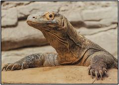 Komodo Dragon (SleepingBear) Tags: friends komododragon sleepingbearimagewear allxpressus cincinnatizooandbotanicalgardens zoosofnorthamerica nikond300s