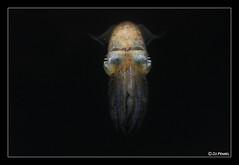 La Spiole (jo.pensel) Tags: aquarium marin finistre atlantique faune audierne mollusque invertbr aquashow cphalopode jopensel aquariumdaudierne faunedebretagne sepiolaatlantica aquashowaudierne jocelynpensel jocelynpenselphotographe jopenselcom siople