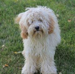 106 Chelsea 300 (jubilee.labradoodles) Tags: pets dogs mi jubilee breeders onsted labradoodles goldendoodles