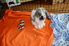 Jimmy (Vegan Butterfly) Tags: cute rabbit bunny bunnies animal animals fur furry adorable ears fosters foster rabbits fostering