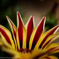 Sunrise (David S Wilson) Tags: uk flowers england flower ely fens flowersplants 2013 panasonicdmcgf1 davidswilson adobelightroom4 leicadgmacroelmarit12845asphlens
